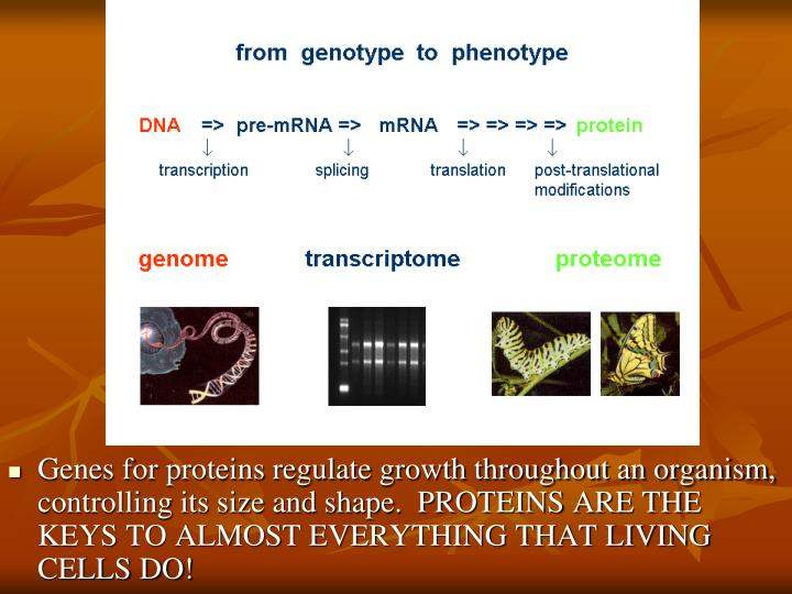 Genes for proteins regulate growth throughout an organism, controlling its size and shape.  PROTEINS ARE THE KEYS TO ALMOST EVERYTHING THAT LIVING CELLS DO!