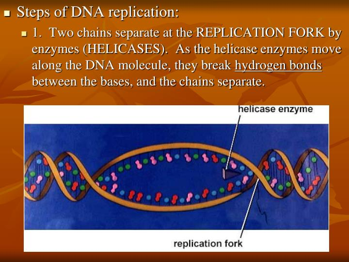 Steps of DNA replication: