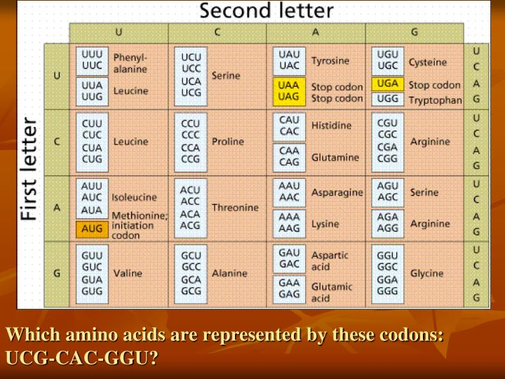 Which amino acids are represented by these codons: