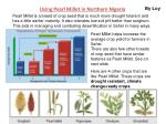 using pearl millet in northern nigeria