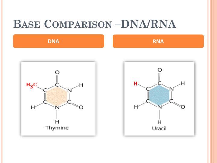 Base Comparison –DNA/RNA