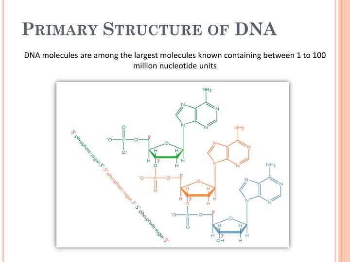 Primary Structure of DNA