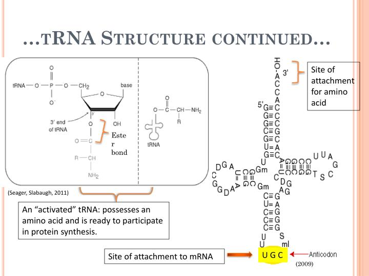 …tRNA Structure continued…