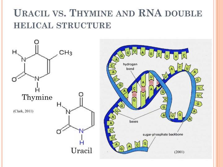 Uracil vs. Thymine and RNA double