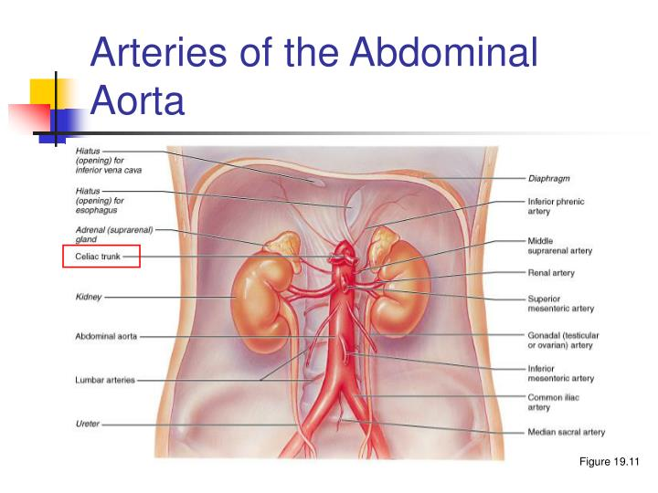 Arteries of the Abdominal Aorta
