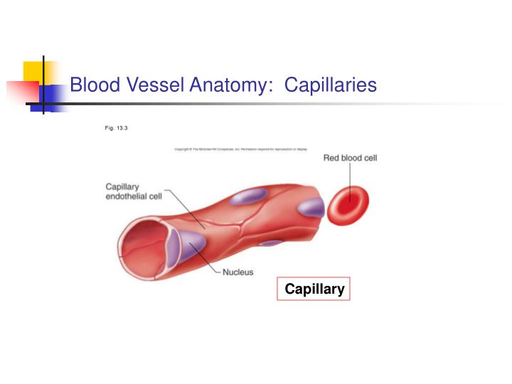 Blood Vessel Anatomy:  Capillaries
