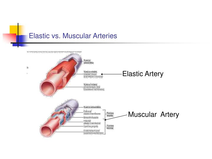Elastic vs. Muscular Arteries