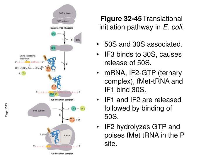 Figure 32 45 translational initiation pathway in e coli
