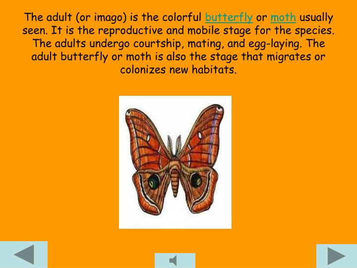 The adult (or imago) is the colorful