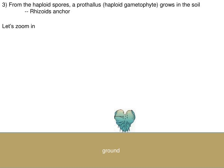 3) From the haploid spores, a prothallus (haploid gametophyte) grows in the soil