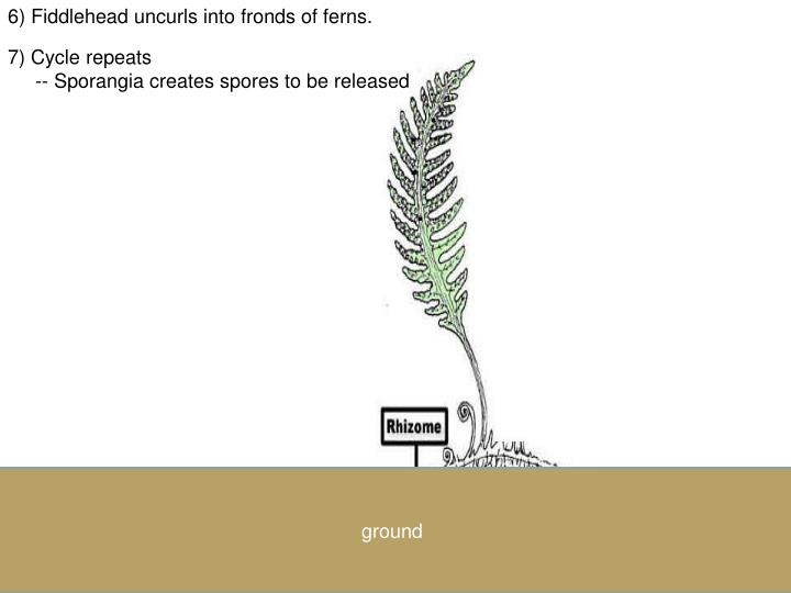 6) Fiddlehead uncurls into fronds of ferns.