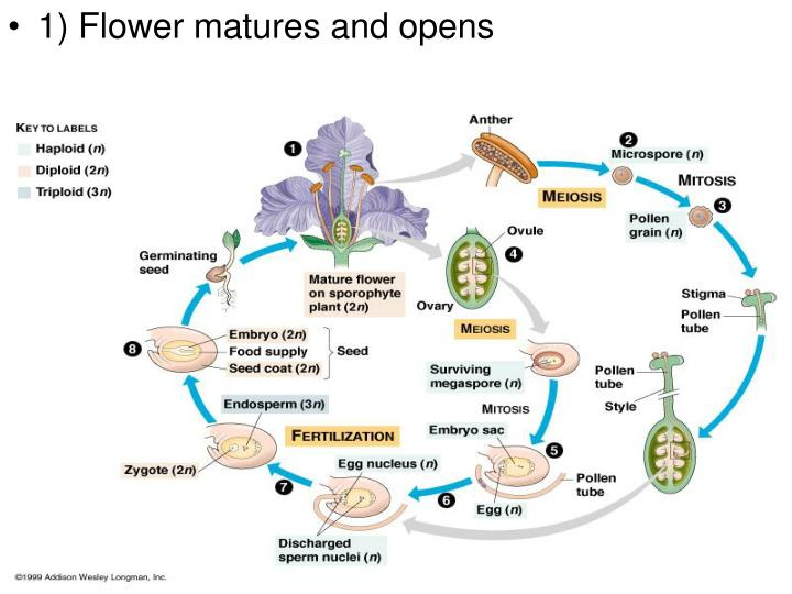1) Flower matures and opens