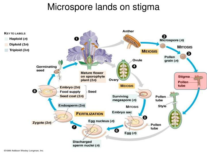 Microspore lands on stigma