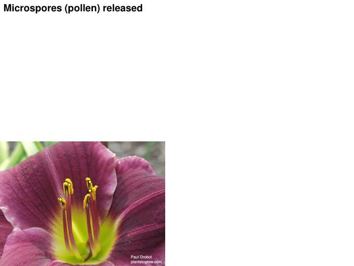 Microspores (pollen) released