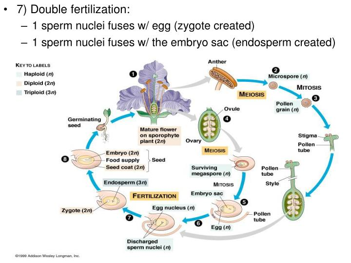7) Double fertilization: