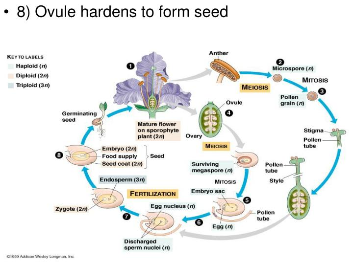 8) Ovule hardens to form seed