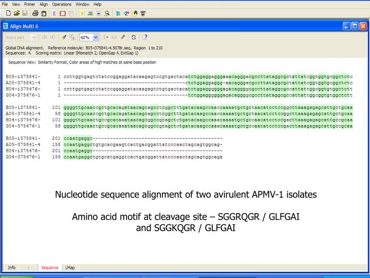 Nucleotide sequence alignment of two avirulent APMV-1 isolates