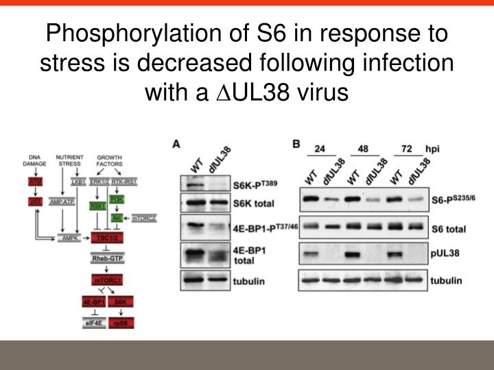 Phosphorylation of S6 in response to stress is decreased following infection with a