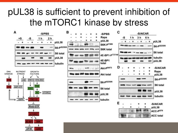pUL38 is sufficient to prevent inhibition of the mTORC1 kinase by stress