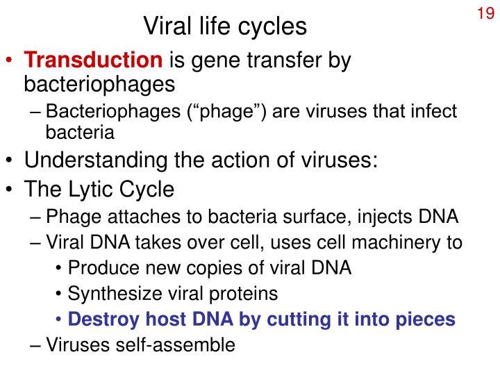Viral life cycles