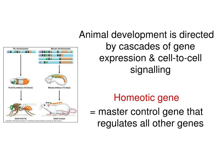 Animal development is directed by cascades of gene expression & cell-to-cell signalling