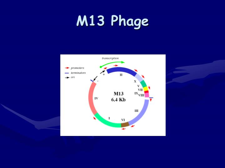 M13 Phage