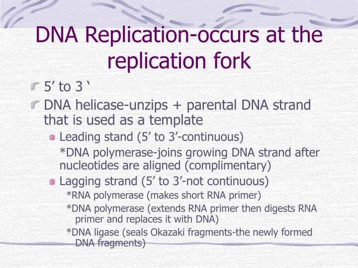 DNA Replication-occurs at the replication fork