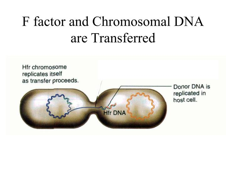 F factor and Chromosomal DNA are Transferred