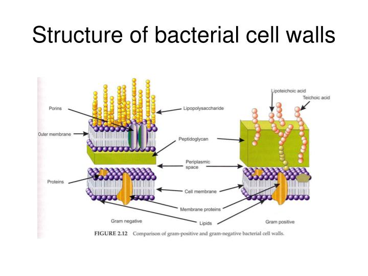 Structure of bacterial cell walls