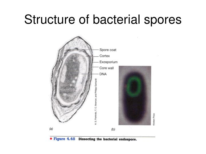 Structure of bacterial spores