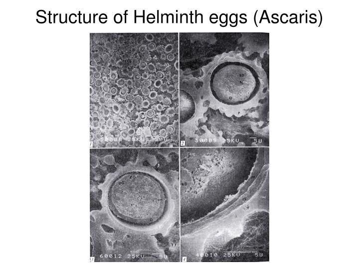 Structure of Helminth eggs (Ascaris)
