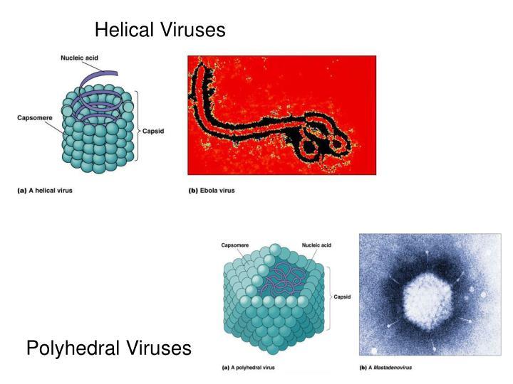 Helical Viruses