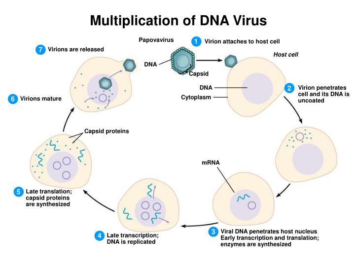 Multiplication of DNA Virus