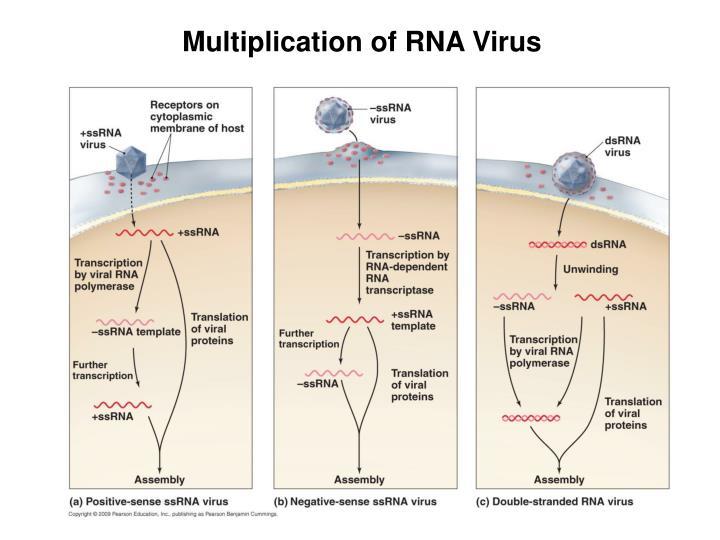 Multiplication of RNA Virus