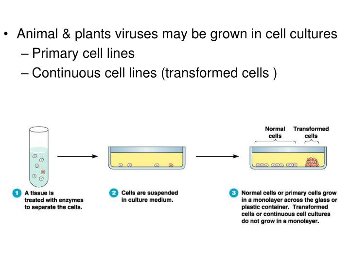 Animal & plants viruses may be grown in cell cultures