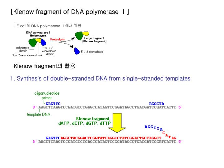 [Klenow fragment of DNA polymerase Ⅰ]