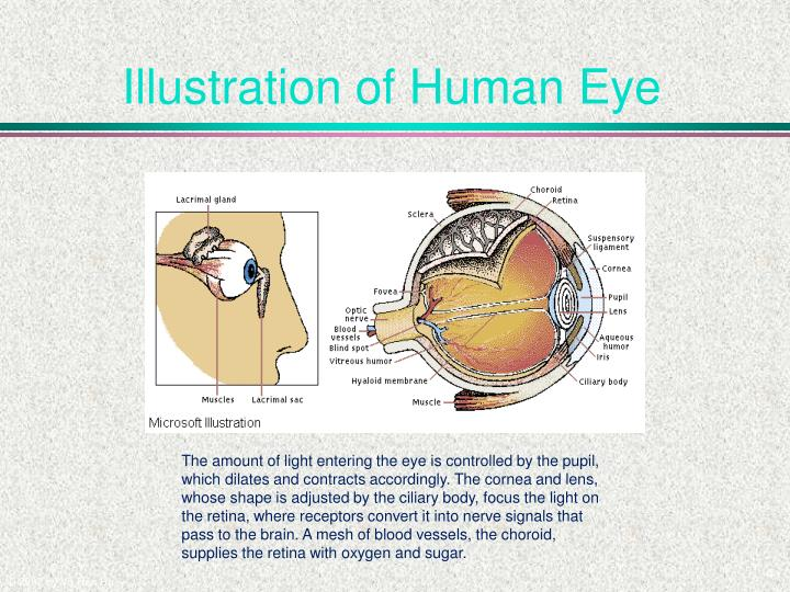 Illustration of Human Eye