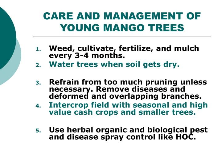 CARE AND MANAGEMENT OF YOUNG MANGO TREES