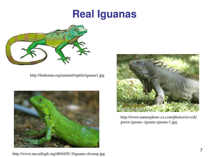 Real Iguanas