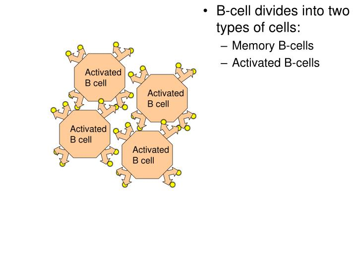 B-cell divides into two types of cells: