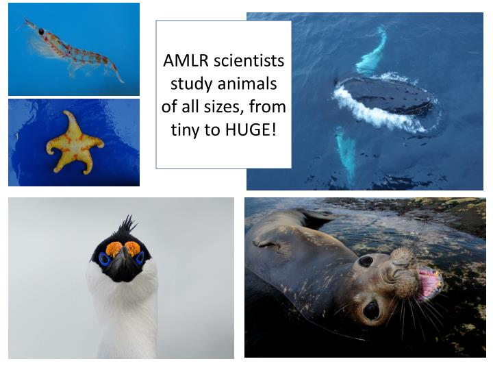 AMLR scientists study animals of all sizes, from tiny to HUGE!