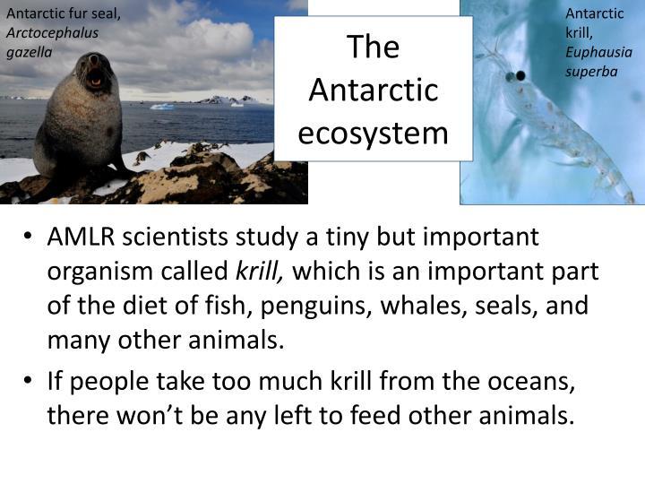 Antarctic fur seal,