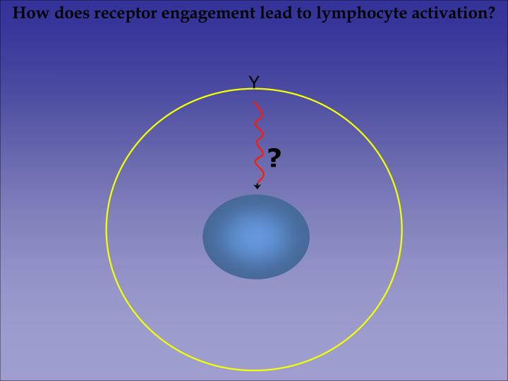 How does receptor engagement lead to lymphocyte activation?