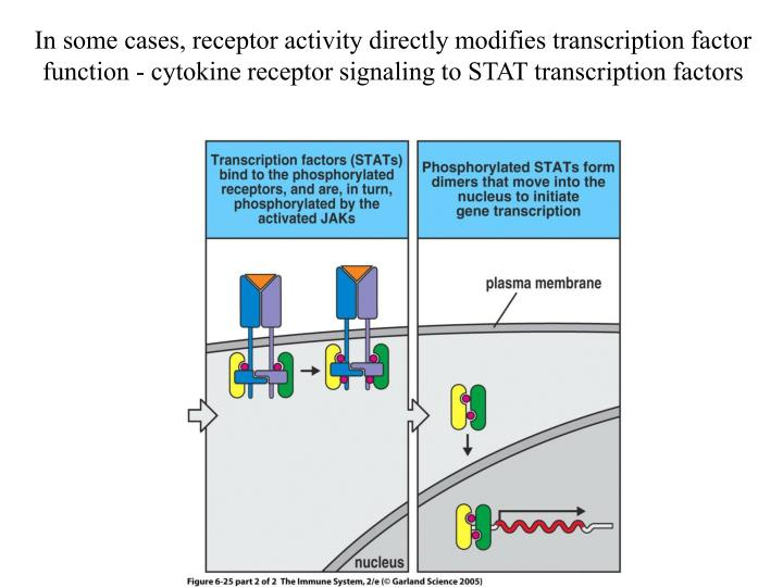 In some cases, receptor activity directly modifies transcription factor function - cytokine receptor signaling to STAT transcription factors
