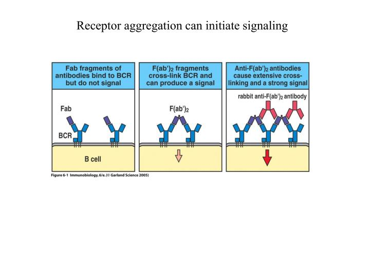 Receptor aggregation can initiate signaling