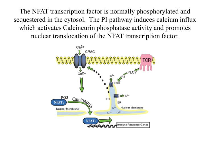 The NFAT transcription factor is normally phosphorylated and sequestered in the cytosol.  The PI pathway induces calcium influx which activates Calcineurin phosphatase activity and promotes nuclear translocation of the NFAT transcription factor.