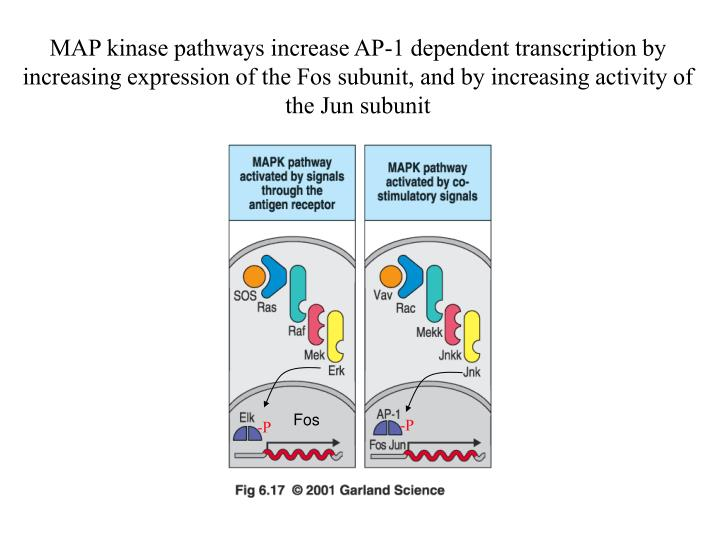 MAP kinase pathways increase AP-1 dependent transcription by increasing expression of the Fos subunit, and by increasing activity of the Jun subunit
