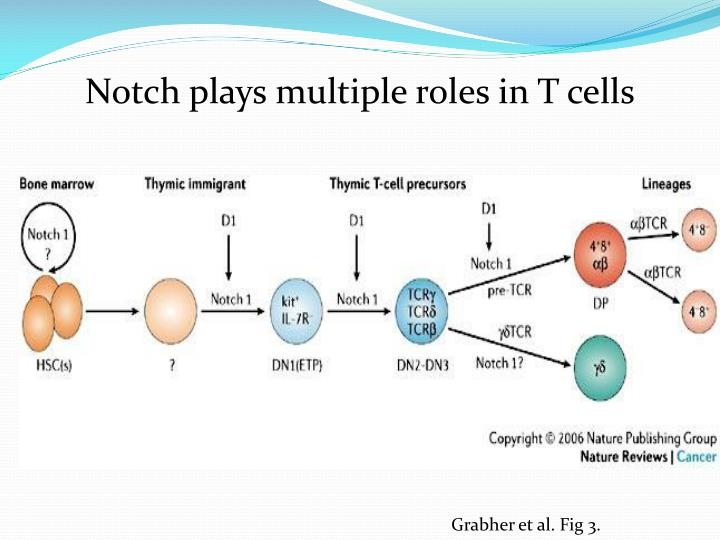 Notch plays multiple roles in T cells