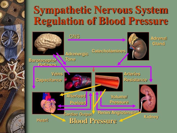 Sympathetic Nervous System Regulation of Blood Pressure