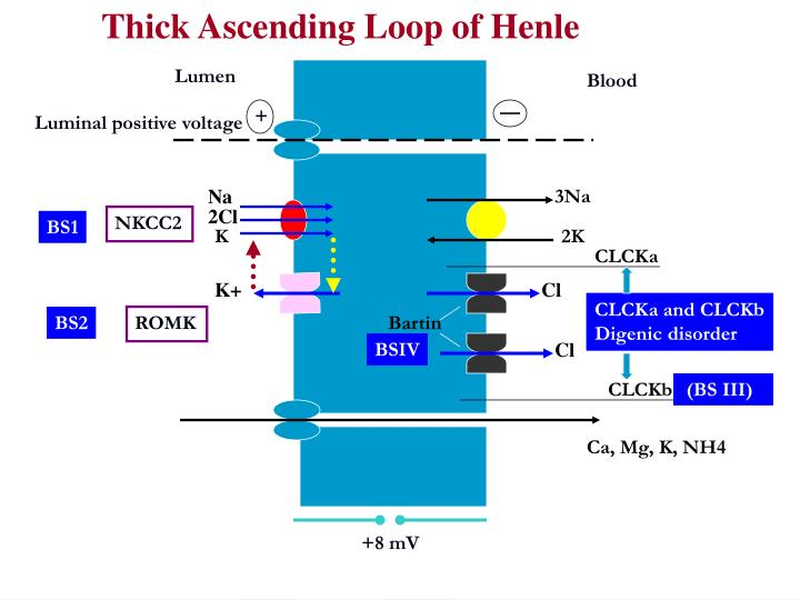 Thick Ascending Loop of Henle